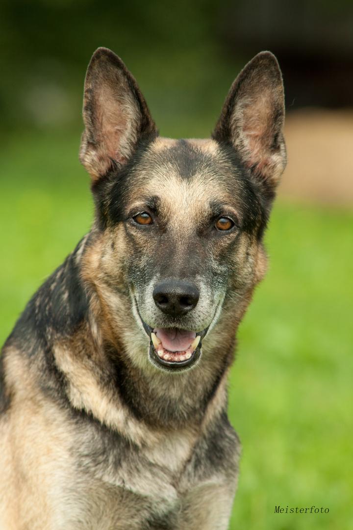 Figo, ein ganz lieber Schäferhund