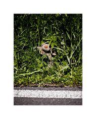 Fikki - not crossing the road...