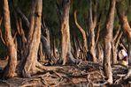 Filao-Bäume / Kasuarinen (Casuarina) 2