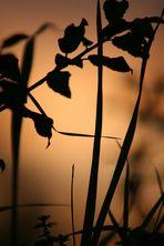 fili d'erba al tramonto
