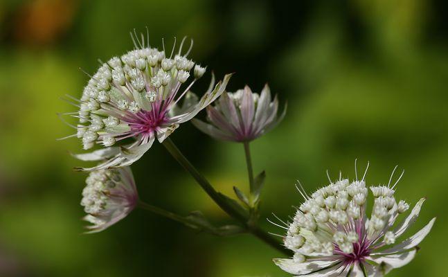 filigrane Blüte...