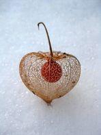 Filigrane Schönheit- Physialis im Schnee