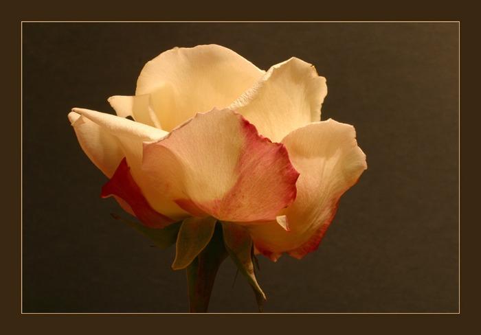 Finale einer Rosenstudie