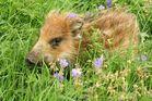 Findelwildschweinchen