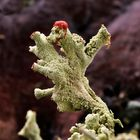 Finger-Becherflechte (Cladonia digitata) 2