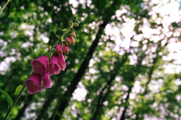 Fingerhut (digitalis purpurea)