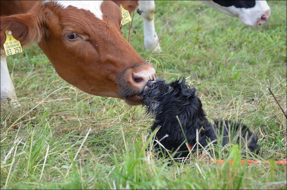 Finley und die Kuh