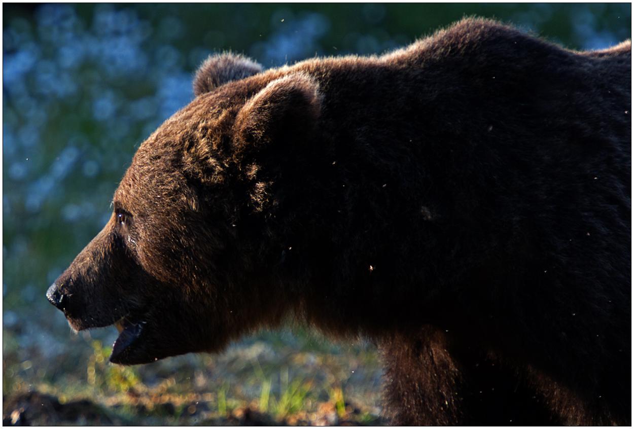 Finnland Bärenland [46] - Portrait eines großen Braunen
