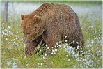 Finnland Bärenland [53] - Der Veteran
