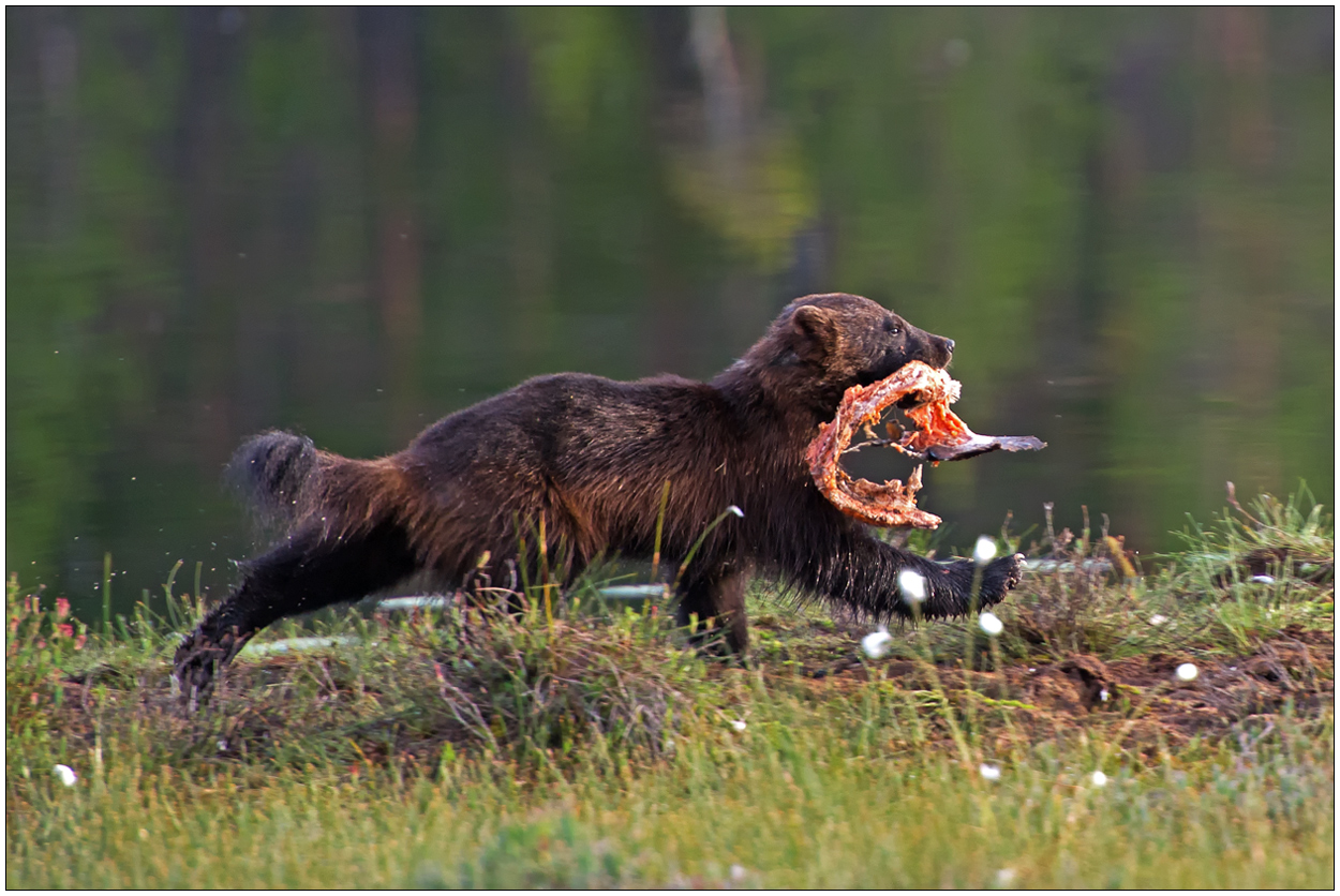 Finnland Bärenland [66] - Vielfraß mit Beute