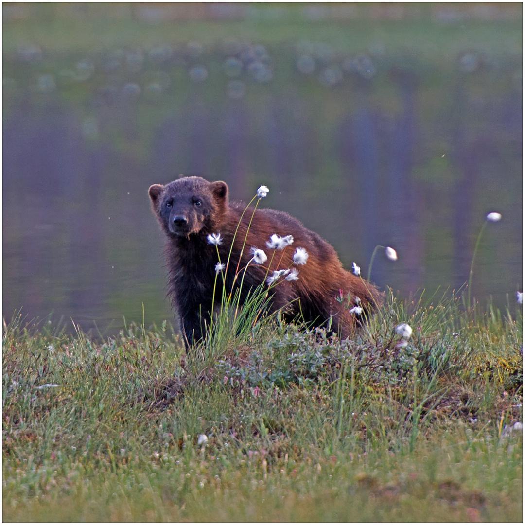Finnland Bärenland [70] - Durch die Blume