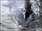 Finnwal-Weibchen - gestorben am 16.8.2012