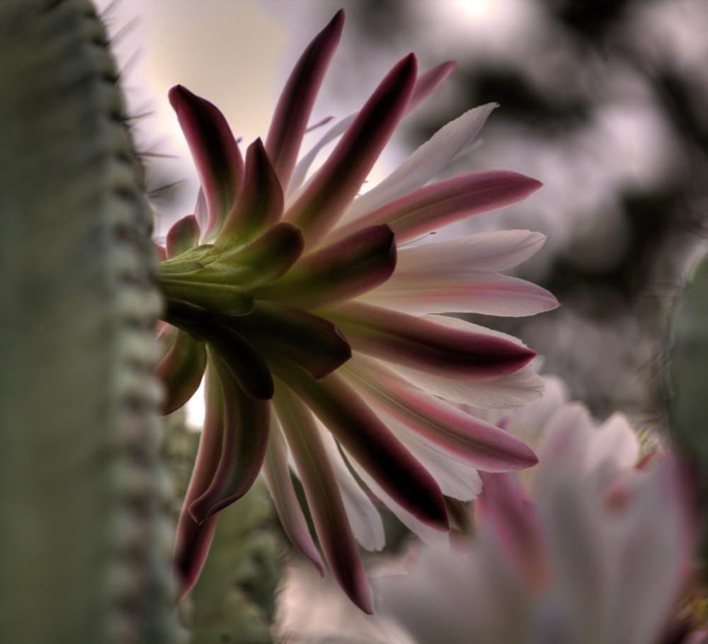 Fior di Cactus