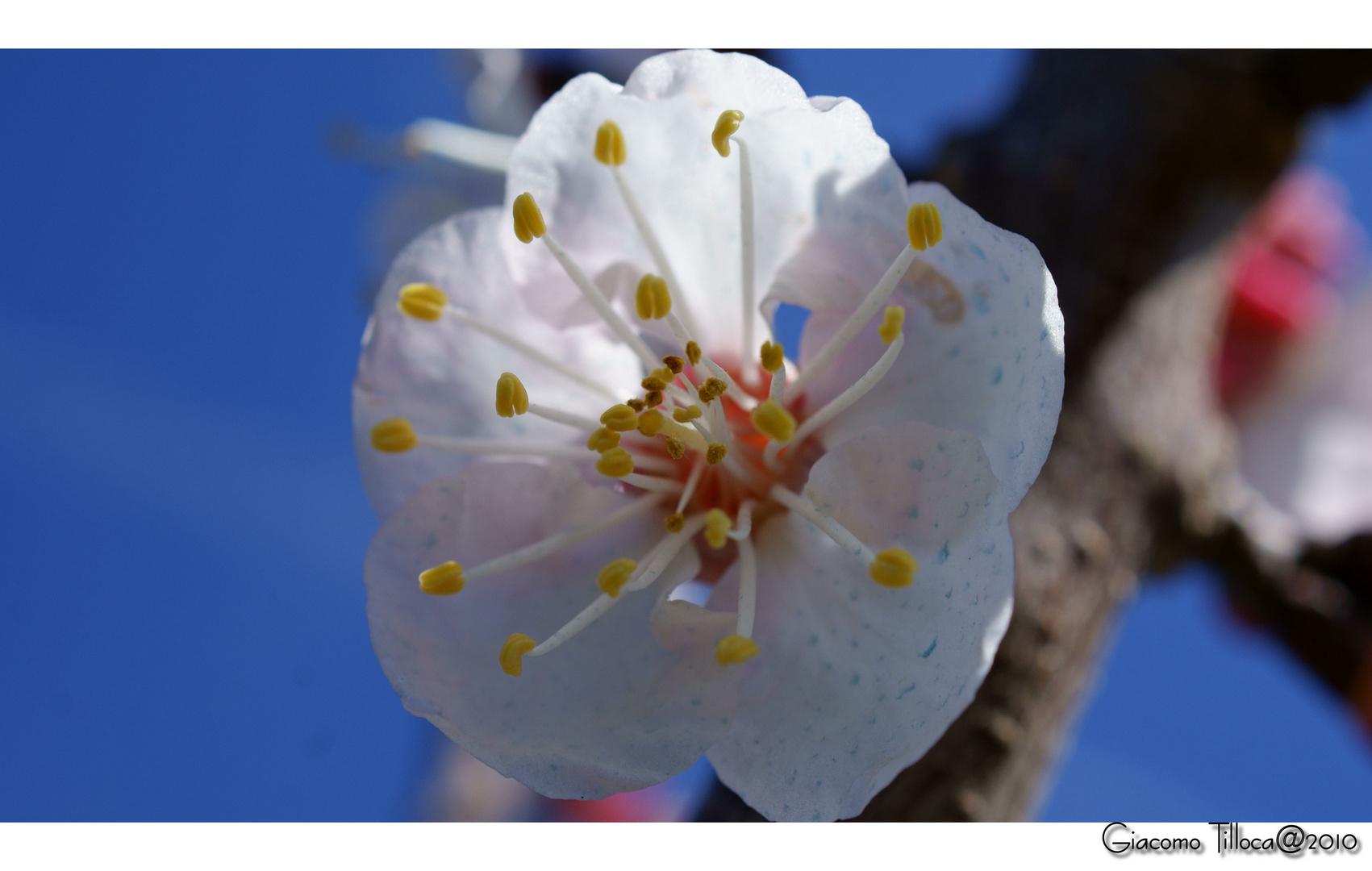 Fiore d'Albicocco