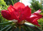 fiore del rododendro.