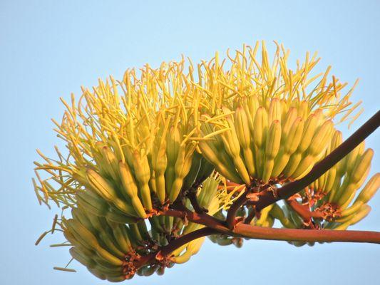 fiore di agave