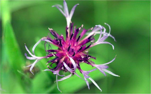 Fiore di campo.