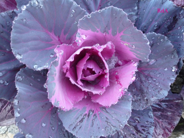 Fiore di cavolo ornamentale foto immagini asia china for Cavolo ornamentale