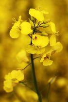 Fiore di colza