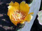 Fiore di fico d'india