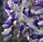 fiore di glicine