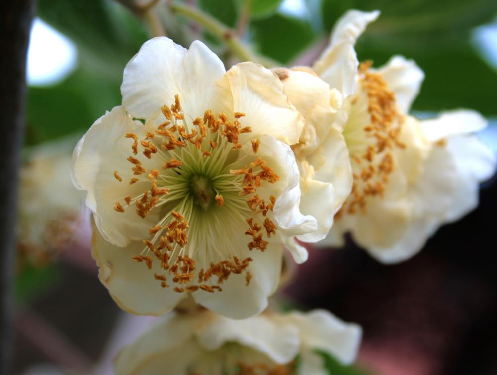 Fiore di kiwi