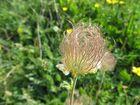 Fiore di montagna ( 3 )