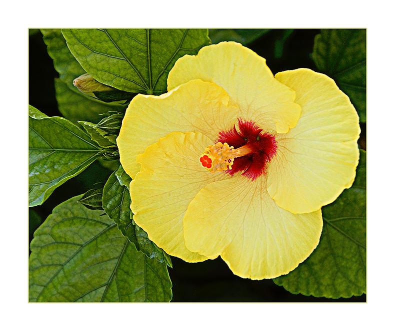 Fiore di Sicilia - Yellow Hibiscus