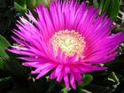 fiore foxia