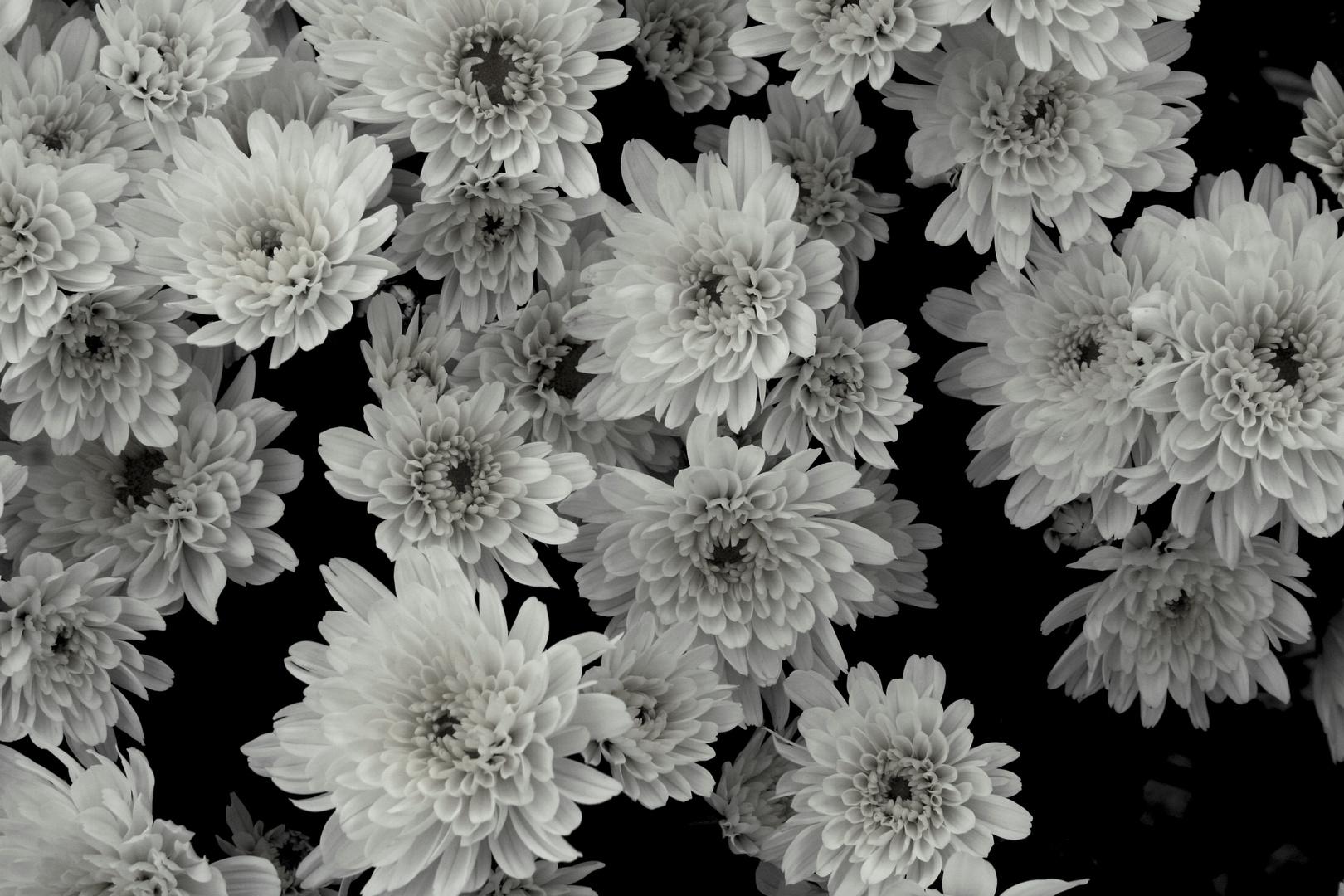Fiore in bianco e nero foto immagini piante fiori e for Foto hd bianco e nero