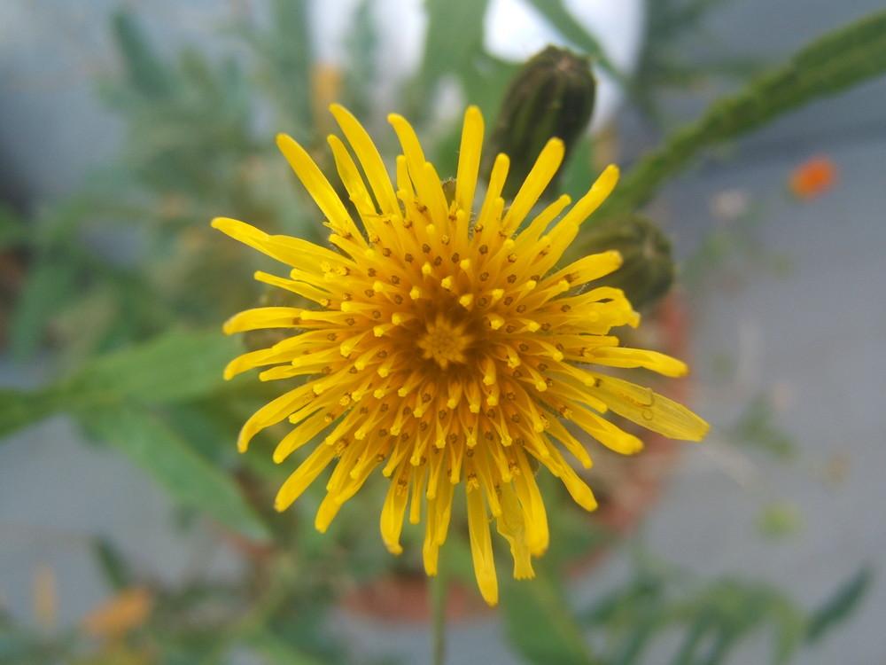 fiore non abbuffato