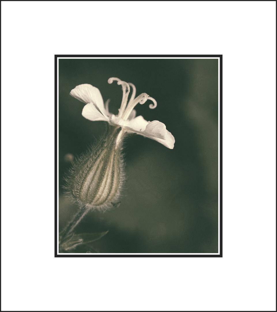 ...fiore selvatico....