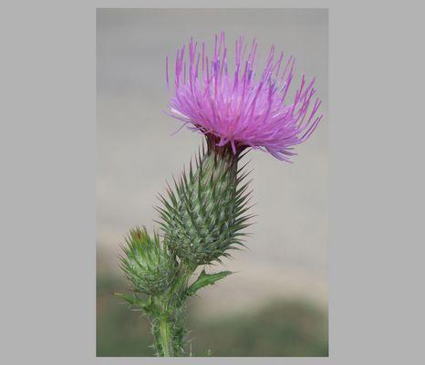 fiore selvatico....