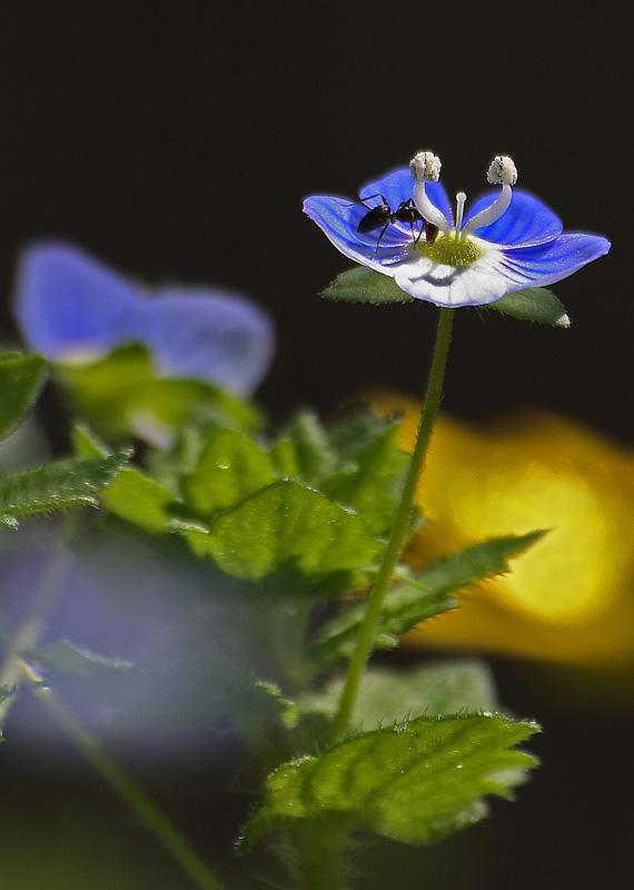 Fiorellino azzurro