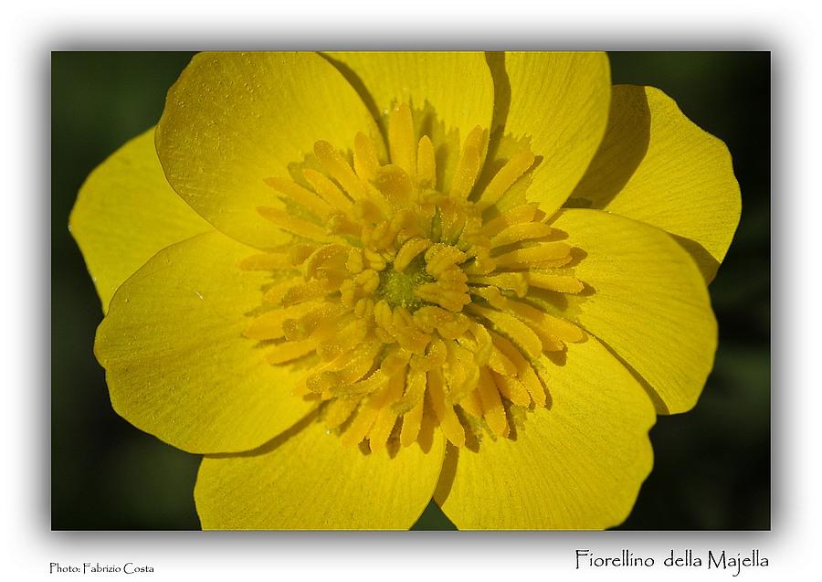 Fiorellino della Majella