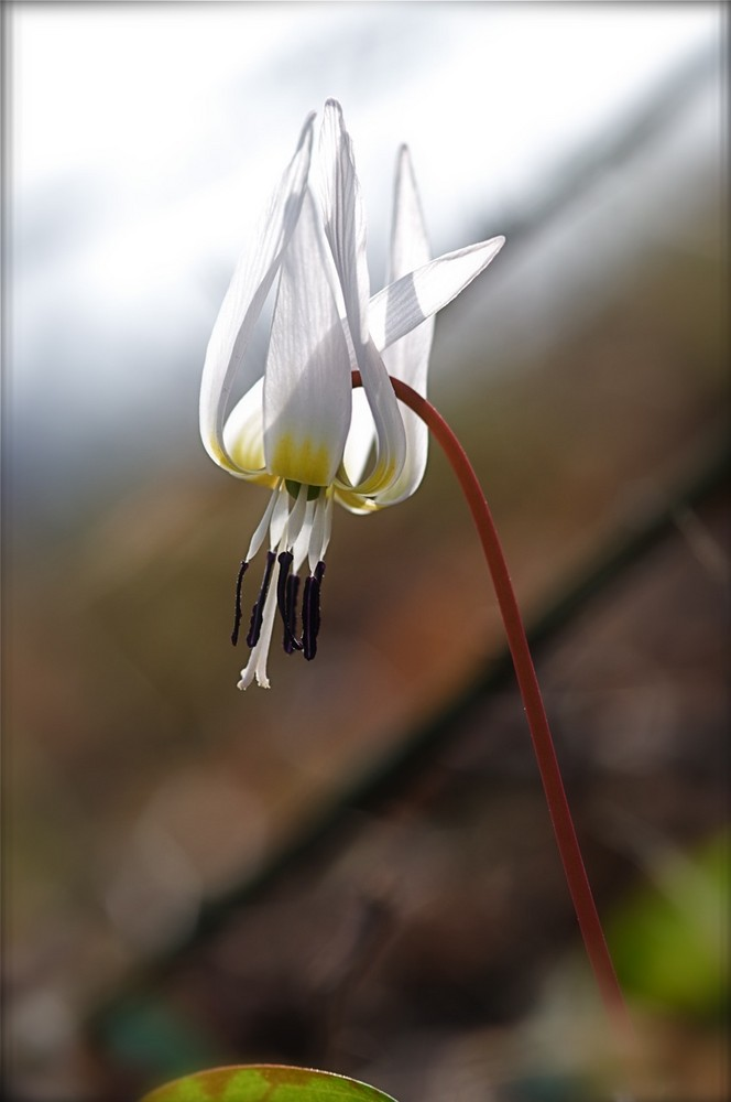 fiorellino di bosco ( non chidetemi il nome)