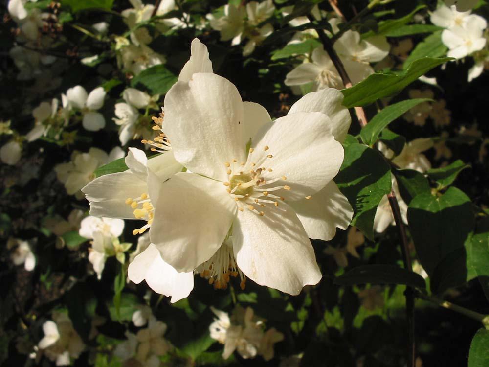 fiori bianchi foto immagini piante fiori e funghi