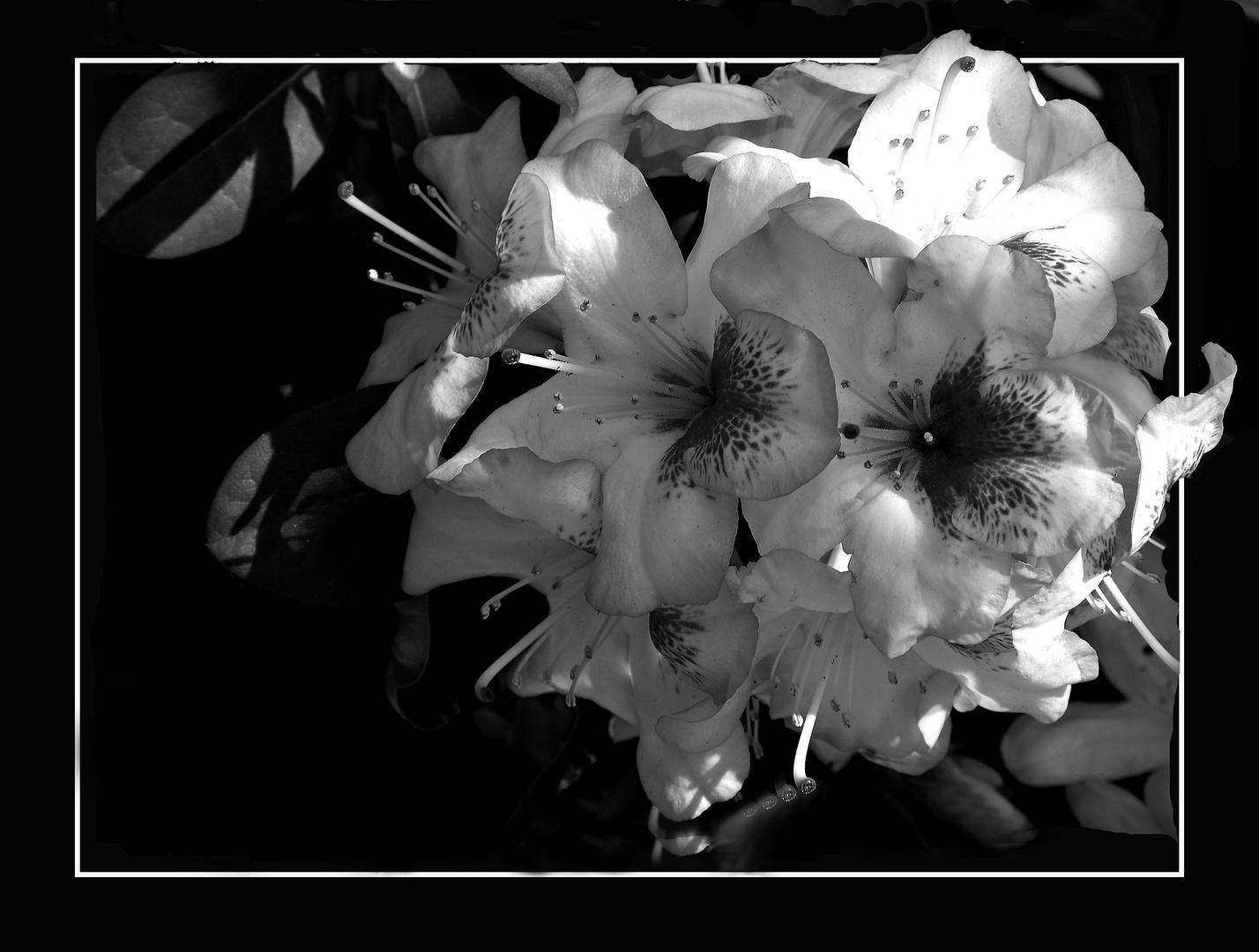 fiori bn