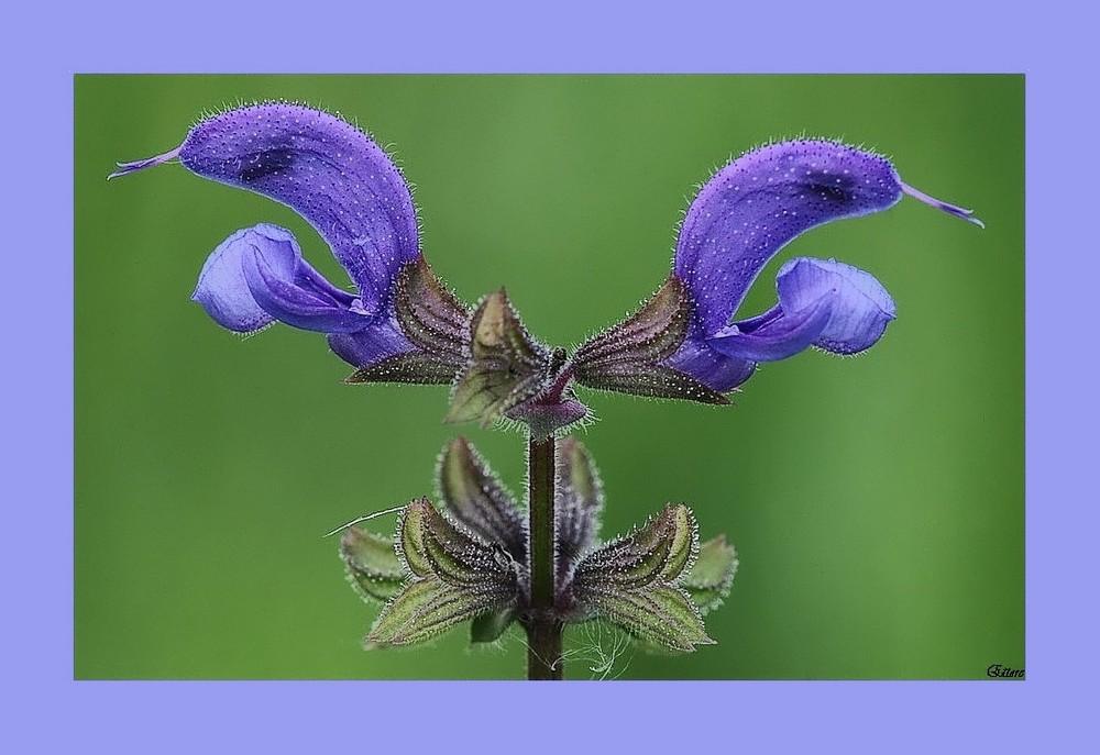fiori della salvia selvatica foto immagini macro e
