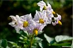 fiori di campo 1