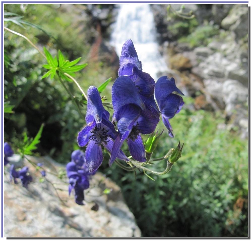 Fiori di montagna foto immagini piante fiori e funghi for Piccoli disegni di baite di montagna