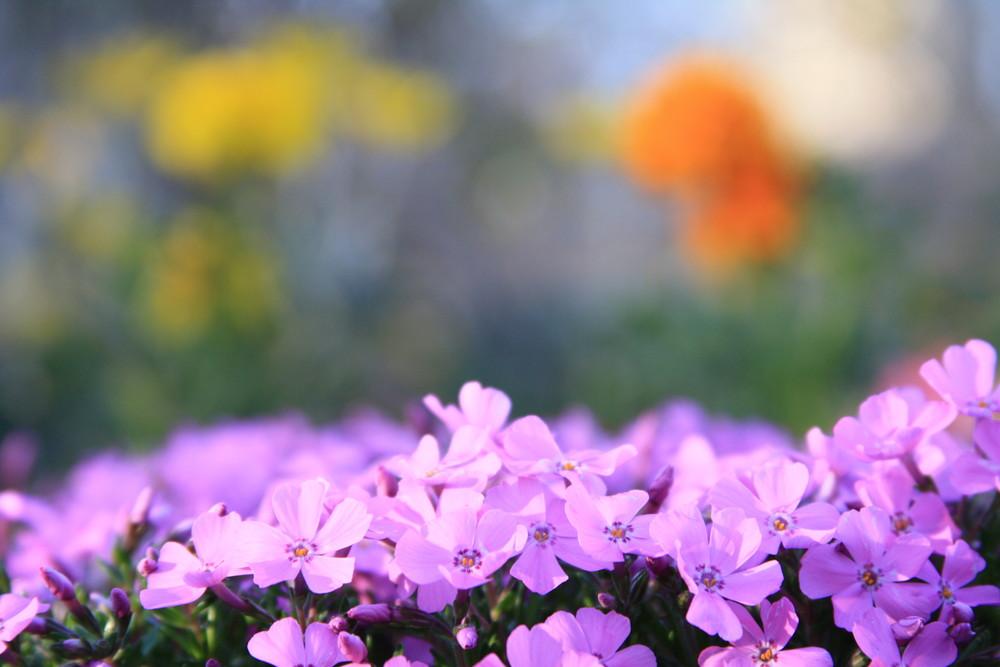fiori pastello (Shiba Sakura)