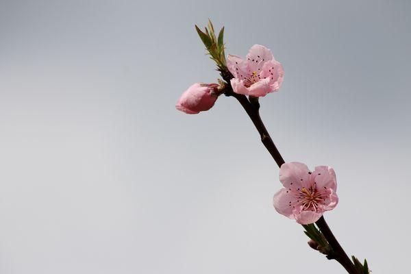 Fiori rosa fiori di pesco..............