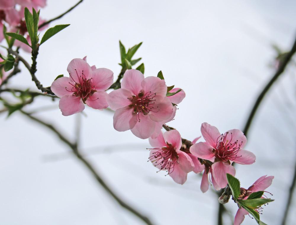 Fiori rosa fiori di pesco foto immagini piante fiori for Fiori stilizzati colorati