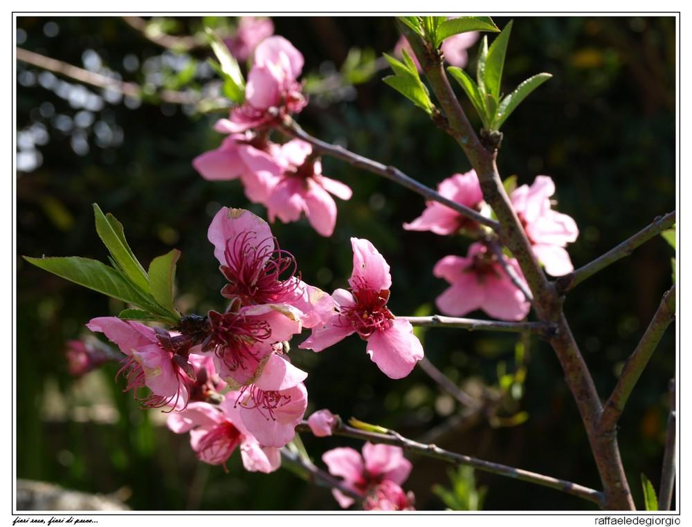 Fiori rosa, fiori di pesco...