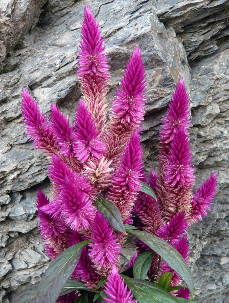 Fiori sulla roccia foto immagini piante fiori e funghi for Piante fiori