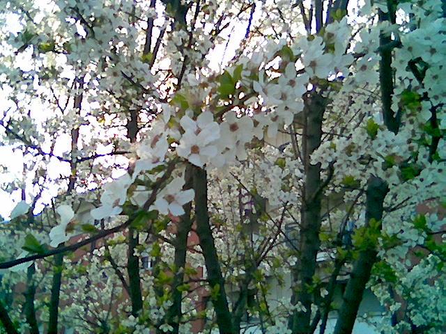 fioritura alle idi di marzo