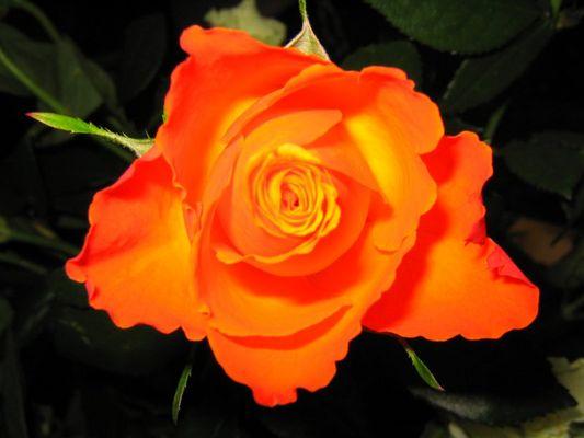 fire-rose