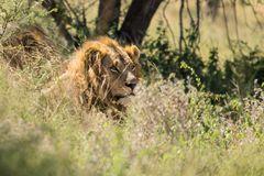 First Lion 2014