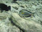 Fisch 3 im Roten Meer